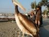 Poserende pelikaan part 3