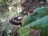 Een vlinder die zich vastklampt aan een blad