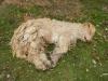 Een hond met lama-vacht
