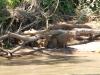 Een gezinnetje capibara's