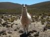 Eén van de lama's wil wel model staan