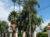Ze hebben hier zeer hoge palmbomen