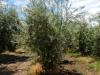 Een olijfboom in volle glorie