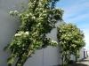 De hoge muur van het kerkhof met geweldig lekker ruikende planten (iemand enig idee hoe ze heten?)