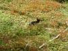 Patagonisch konijn