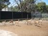 De antilopes vinden mij maar een rare verschijning