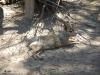 Argentijns konijn