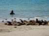 Zeeleeuwen en zeemeeuwen gaan goed samen