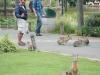 De semi-konijnen lopen wild rond