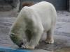En daar is de ijsbeer, lekker op een visje aan het knabbelen