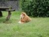 Zo hoort een echte leeuw er nou uit te zien