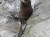 Zeehond die een visje probeert te krijgen door furieus te kijken