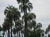 Wilde paarden tussen de palmbomen