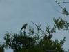 Twee van de vele papegaaien die krijsend hun nest bewaken