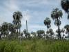 Ze hebben zelfs onthoofde palmbomen