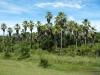Ook hier hebben ze palmbomen