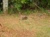 En dan, bij het verlaten van het park, zien we deze bijzondere muiscavia\'s