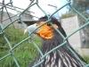 Vogel x met oranje wangen