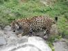 Jaguar die zich verveelt