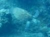 de bewuste zeeschildpad